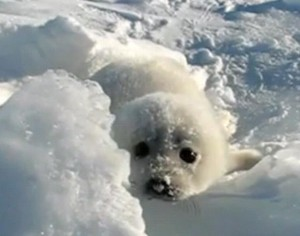 Baby seal cries out for mommy!