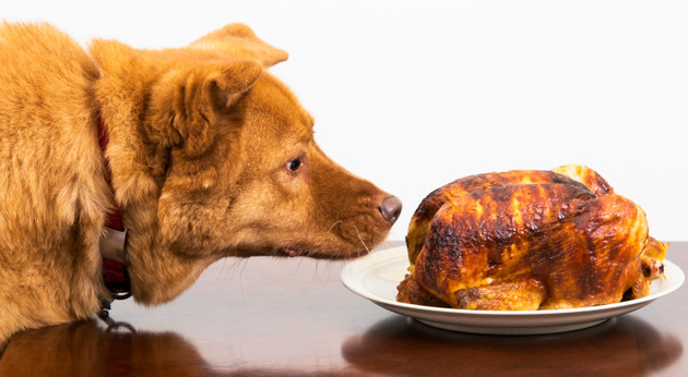 Dog about to eat rotisserie chicken at table
