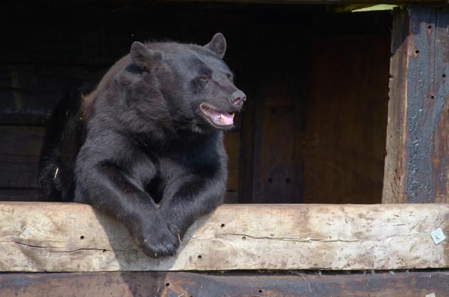 Black Bear relaxing