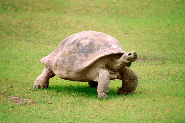 Giant Tortoise walking on grass