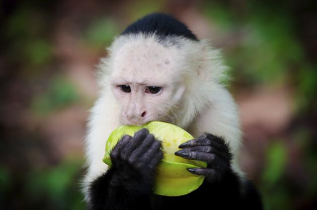 White Faced Monkey Eating Star Fruit